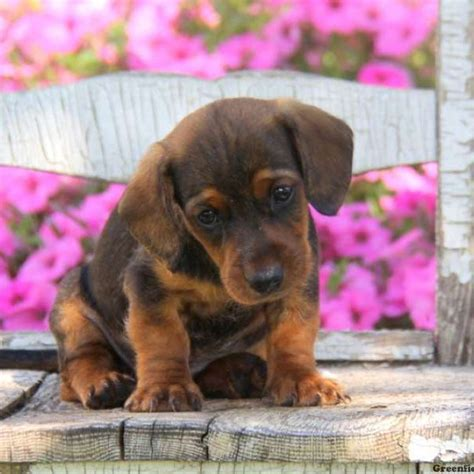 mix breed puppies for sale dachshund mix puppies for sale greenfield puppies