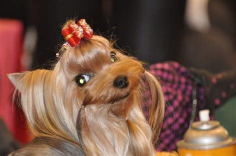 things yorkies top 10 things terriers don t like