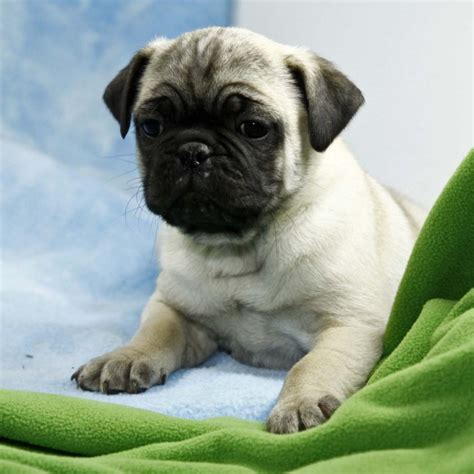 pug puppies for sale plymouth home raised pug puppies ready to go plymouth dogs for sale puppies for sale