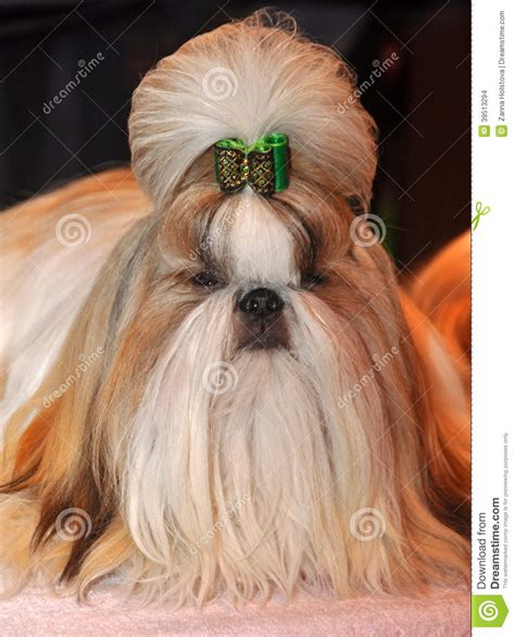 breeds with hair shih tzu hair breed dogs breeds picture