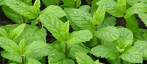 Pohon Mint Daun Mint blognya para petani cara mengidentifikasi tanaman mint