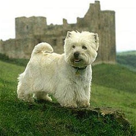 Do West Highland Terriers Shed by 25 Best Ideas About White Terrier On Westie