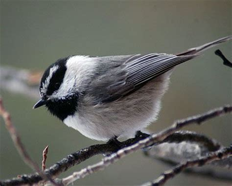 mountain chickadees   reported