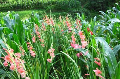 sukses menanam tanaman hias bunga gradiol