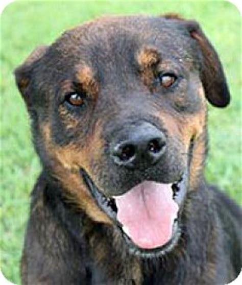 rottweiler san antonio san antonio tx rottweiler mix meet marcel a for adoption