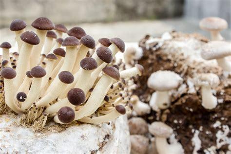 coltivare funghi in casa coltivare i funghi in casa si pu 242 ecco come fare