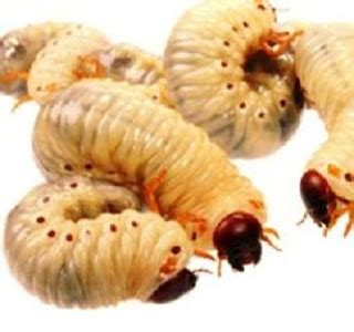 Pakan Ikan Lele Paling Murah 2 cara budidaya maggot paling mudah untuk pakan ikan