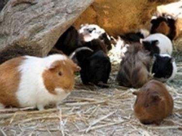 alimentazione porcellini d india cavia cavie caratteristiche della cavia