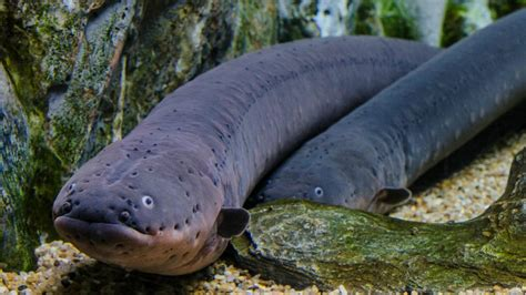 Pictures Of Electric Fish