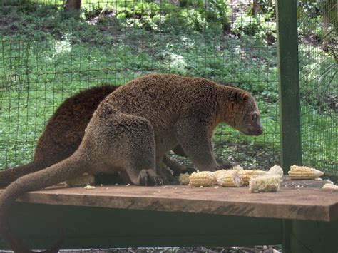 Picture 7 of 7 - Cuscus (Phalanger Maculatus) Pictures ...