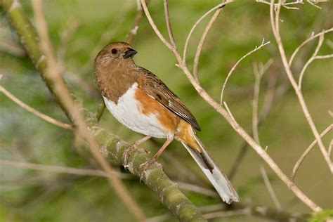 file rufous sided towhee jpg wikimedia commons