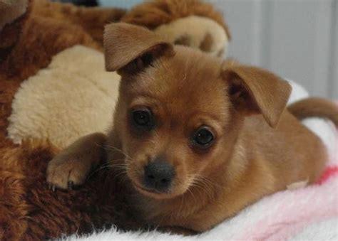 alimentazione chiwawa incrocio pinscher chihuahua cani taglia mini pinscher