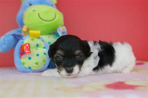 tri colored havanese puppies royal flush havanese puppies for sale tri colored