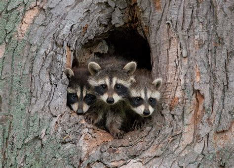 what to do if a raccoon is in your backyard raccoon wildsafebc