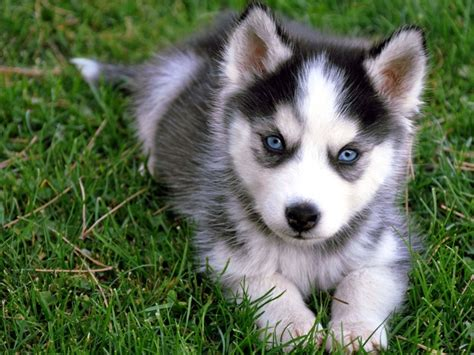 puppy siberian husky bringing home a siberian husky the needed preparation siberian husky