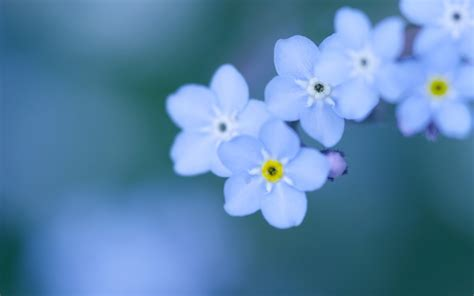 background wallpaper not showing forget me not flower wallpapers images photos pictures
