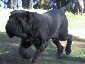 belgian shepherd rescue australia neapolitan mastiff dog images amp pictures becuo