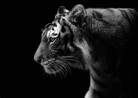 wallpaper harimau hitam kertas dinding harimau hitam dan putih profil predator