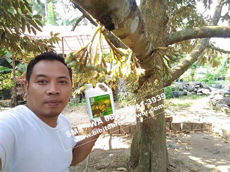 Bibit Durian Bawor Sarno bibit durian montong bibit durian unggul durian bawor