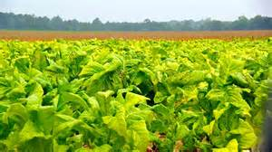Crop Plant Diseases - dee research center to hold tobacco field day clemson university news and stories south