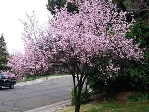 tree free wallpaper plum tree