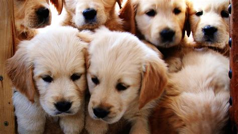 when will my golden retriever be grown puppies puppy information pictures all about puppies