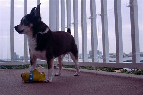 apartment dogs  dog friendly ideas  balconies