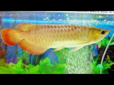 Ikan Spatula Platinum jual silver brazil funnydog tv