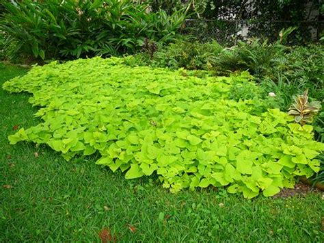 vines as ground covers garden org