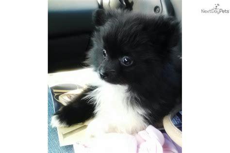 pomeranian panda puppies for sale pomeranian puppy for sale near dallas fort worth b092af45 e561