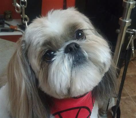 shih tzu hair styles for females haircuts for shih tzu dogs hairstylegalleries