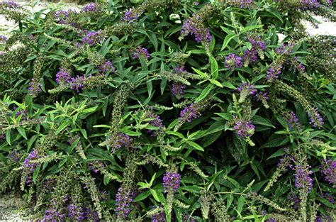 shrubs for small spaces gardening top 10 birds and blooms