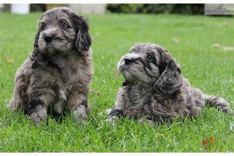 goldendoodle puppies for sale in wv goldendoodle puppy for sale near northern panhandle west
