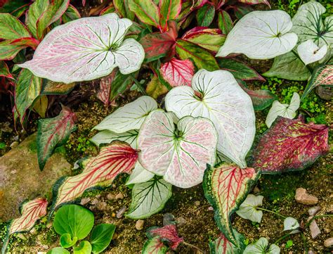 perennial foliage plants tender perennials in the garden what are tender perennials