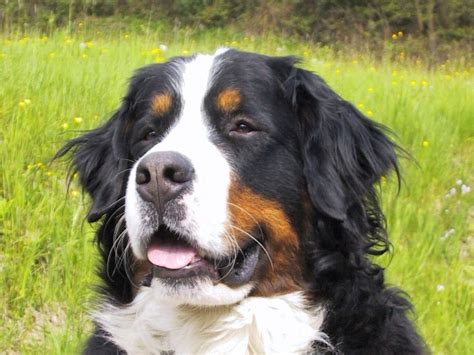 bernese mountain breed history and some interesting facts bernese mountain dogzone nyc