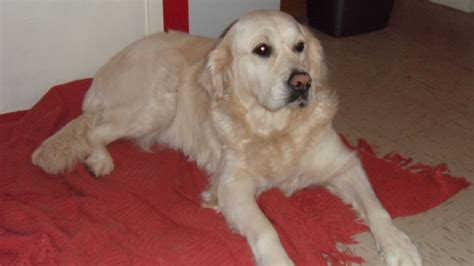golden retriever 2 years golden retriever 2 1 2 years newton aycliffe county durham pets4homes
