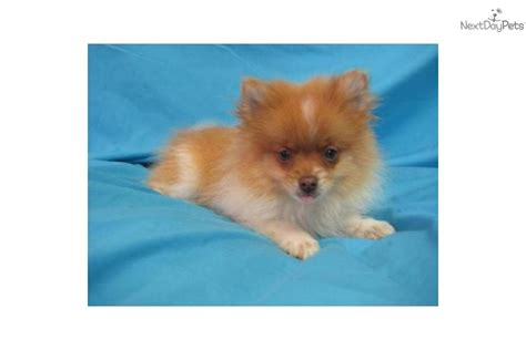 pomeranian husky mix for sale in arkansas pomeranian puppies for sale louisiana breeds picture