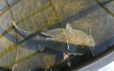 Missouri Record Record Missouri Catfish Outdoor Channel
