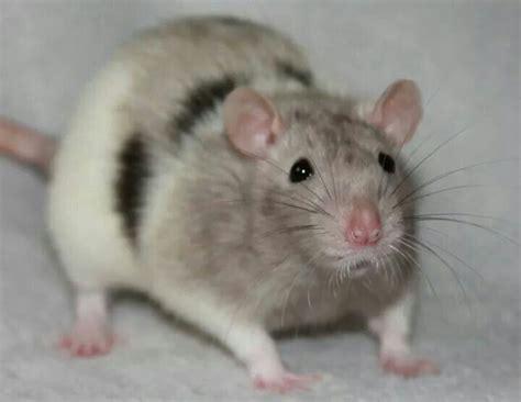 rat colors 74 best pet rat color exles images on pet