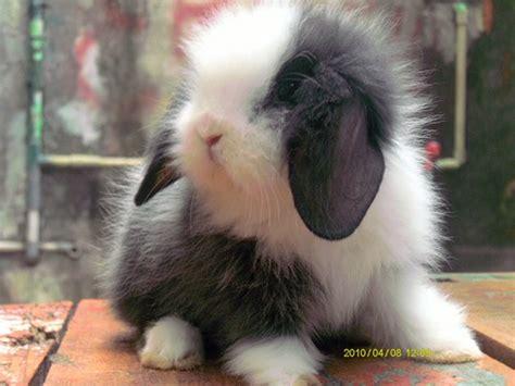 Jual Lop Lucu by Lucu Kelinci Perkelincian Rabbit Rabbitry