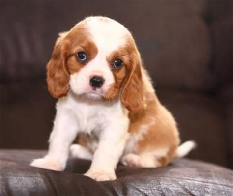 spaniel puppies for adoption cavalier king charles spaniel dogs and puppies for adoption in the uk breeds picture