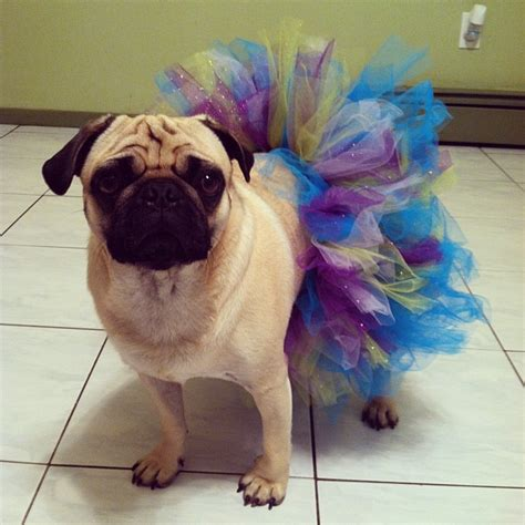pugs in dresses 22 pugs who dress to impress barkpost