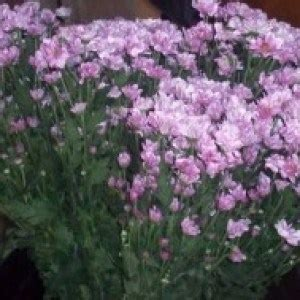 Jual Bibit Bunga Aster Dan Krisan jual bibit unggul tanaman aster pikok putih pink bibit