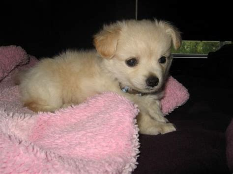 pomeranian pekingese chihuahua mix chihuahua puppies puppy pictures page 7
