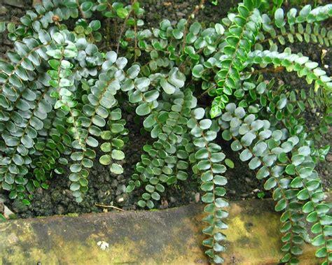 Indoor Flowering Plants gardensonline pellaea rotundifolia