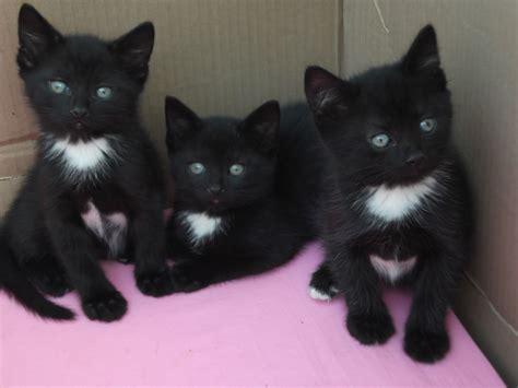 Litter Of Kitties by 3 Gorgeous Kittens Left From Identical Litter Of 6