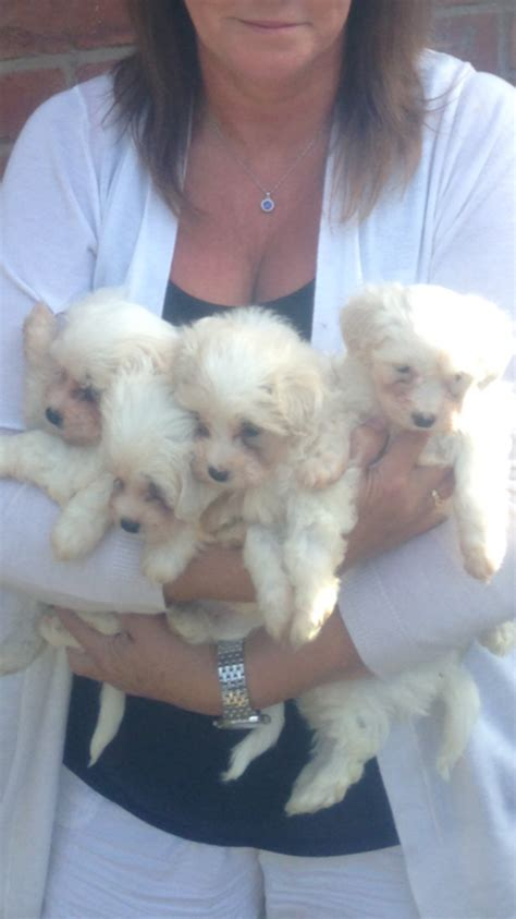 maltichon puppies for sale gorgeous maltichon puppies for sale stockport greater manchester pets4homes