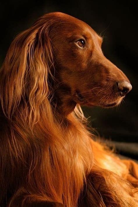 setter reddish dog crossword clue 89 best irish setter love images on pinterest doggies