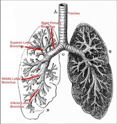 lung cancer diagrams digital imaging ii
