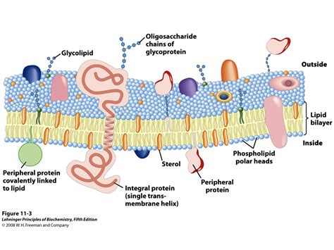 membrane lipids cell membrane lipids